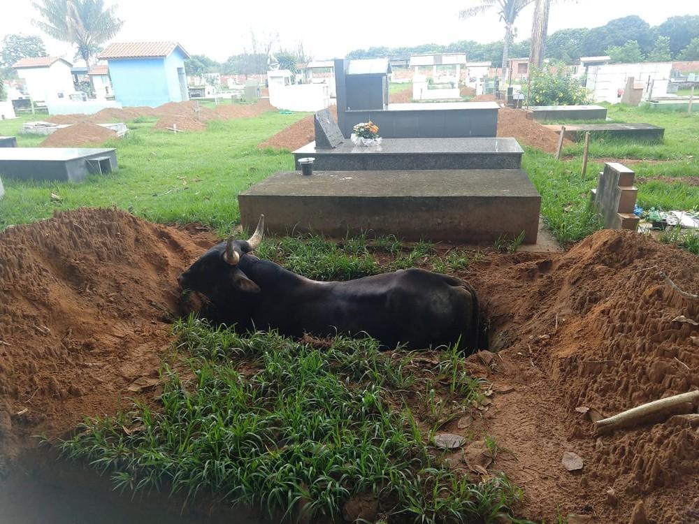 Boi entra em cemitério e cai em cova que estava aberta