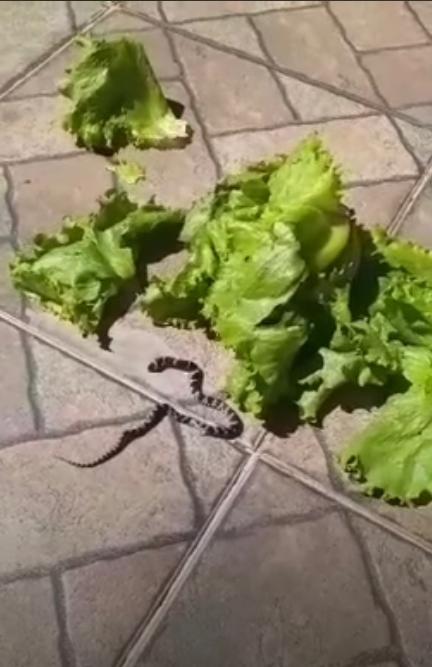 SORRISO: Moradora encontra cobra dento de alface na geladeira